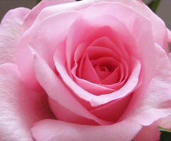 nice pink rose lovely