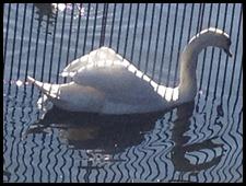 swan in bar