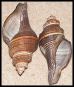nigerian snail shells
