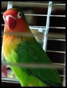 Ural's parrot