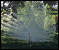 white peacock in Olympos