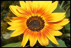 sunflower of life