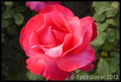 Toks Red Rose