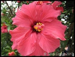 hibiscus pink flower