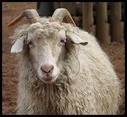 Angora_Goat-wikipedia