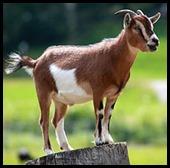 goat-wikipedia