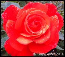 Red Rose of Passion