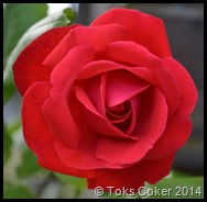Red Rose of Beauty