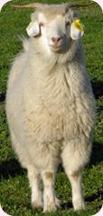 Australain_cashmere_goat-wikipedia