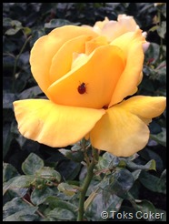 ladybird on yellow rose