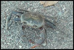 crab cancerian crab